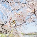 3/19 (土曜日)に日程が変更になりました!『SBI 春のお花見ピクニック』のお知らせ